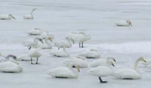 大沼に白鳥