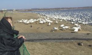 白鳥4000羽