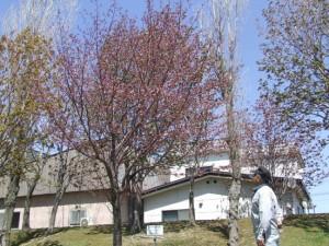 最も遅く桜